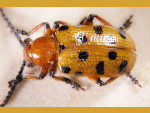 beetle-lordil-microphotographie